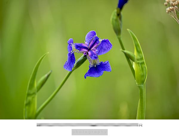 Blood Iris Alaska wildflowers