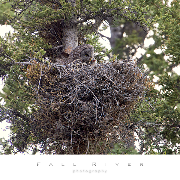 Great Gray Owl on nest with chick