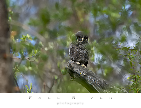 Great Gray owl chick after fledging