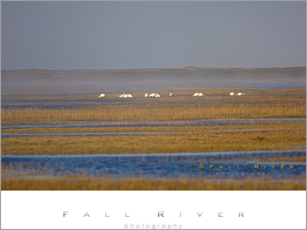 Snow Geese On Arctic Tundra