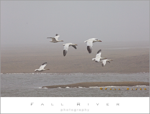 Snow Geese in flight Arctic