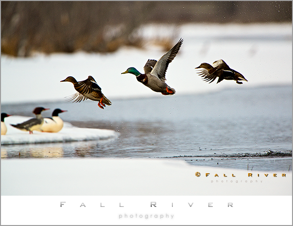 Winter Ducks on Spring Creek in Alaska