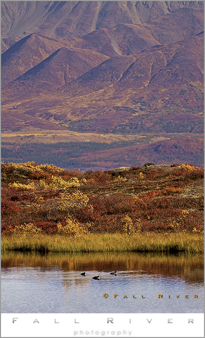 waterfowl on Denali Highway