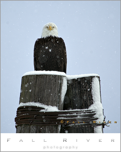 Spring Bald Eagle in Alaska