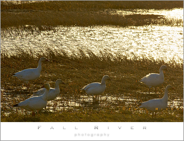 Snow Geese in Arctic Evening