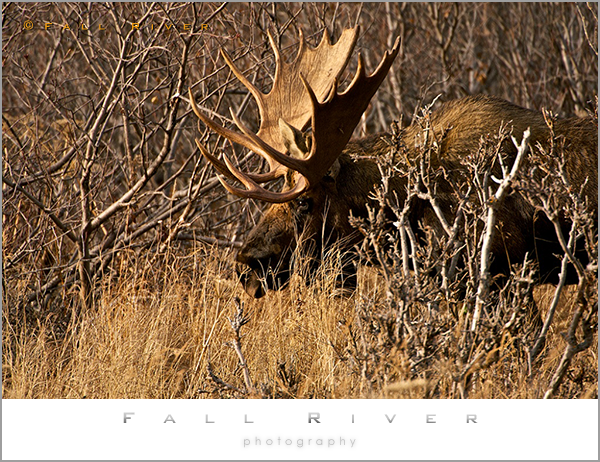 Alaska Bull Mooose