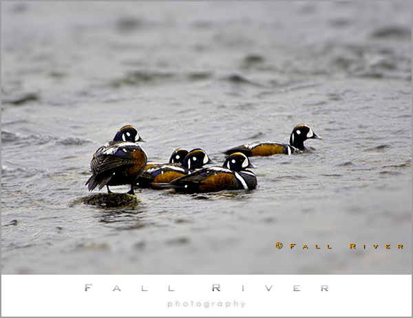 Harlequin Duck in a row