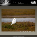 Snowy Owl on Tundra