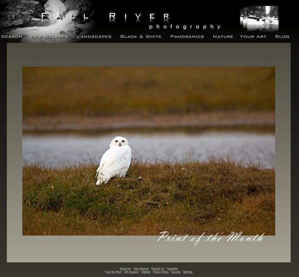 Snowy Owl on Tundra